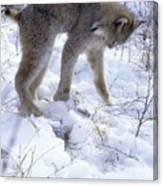 Lynx Captures Hare Canvas Print