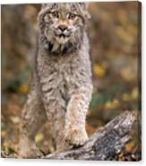 Lynx Kit Canvas Print