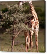 Maasai Giraffe - Giraffe Maasai Canvas Print