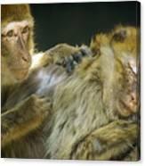 Macaques Jerez De La Frontera Spain Canvas Print