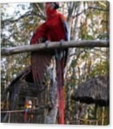 Macaw Guatemala Canvas Print