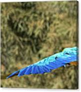 Macaw In Flight Canvas Print