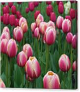 Mackinac Island Tulips 10681 Canvas Print