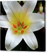 Macro Close Up Of White Lily Flower In Full Blossom Canvas Print