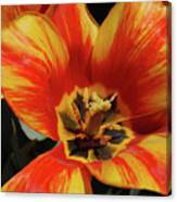 Macro Of A Blooming Striped Yellow And Red Tulip Canvas Print