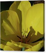 Macro Of A Flowering Yellow Tulip Up Close Canvas Print