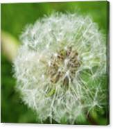macro shot of a beautiful Dandelion. Canvas Print