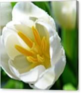 Macros White Tulip May-2011 Canvas Print