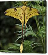 Madagascar Comet Moth Canvas Print