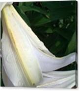 Madonna Lily After Rain Canvas Print
