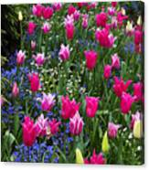 Magenta And White Tulips Canvas Print