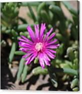 Magenta Purple Desert Moss Rose Canvas Print