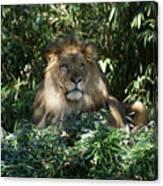 Magestic Lion Canvas Print