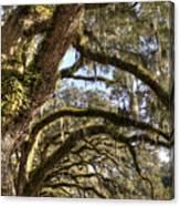 Magnificant Live Oak Trees Color Canvas Print