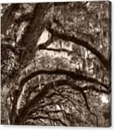 Magnificant Live Oak Trees  Canvas Print