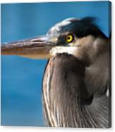 Magnificent Blue Heron Canvas Print
