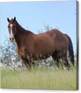 Magnificent Horse Canvas Print