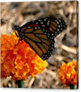 Magnificent Monarch Canvas Print