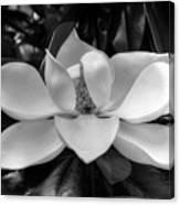 Magnolia Bloom B/w Canvas Print