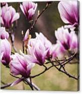 Magnolia Blooming In An Early Spring Canvas Print