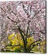 Magnolia Blossoms Galore Canvas Print