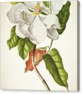 Magnolia Botanical Print Canvas Print