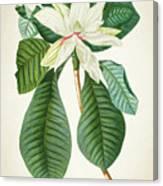 Magnolia Botanical Print Magnolia02 Canvas Print