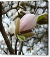 Magnolia Flower Pink White 19 Magnolia Tree Spring Art Canvas Print