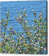 Magnolia Flowering Tree Blue Water Canvas Print