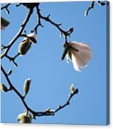 Magnolia Flowers Budding Art Prints Spring Floral Baslee Troutman Canvas Print