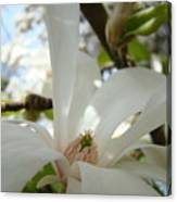Magnolia Flowers White Magnolia Tree Flower Art Spring Baslee Troutman Canvas Print