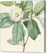 Magnolia Glauca Canvas Print