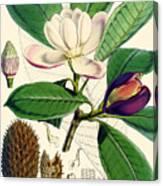Magnolia Hodgsonii Canvas Print