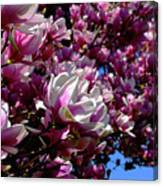 Magnolia In Spring Canvas Print