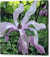 Magnolia Soulangeana Canvas Print