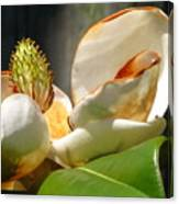 Magnolia Sunburn Canvas Print