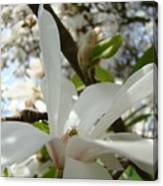 Magnolia Tree Flowers Art Prints White Magnolia Flower Canvas Print