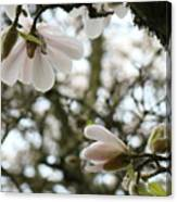 Magnolia Tree Flowers Pink White Magnolia Flowers Spring Artwork Canvas Print