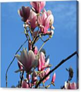 Magnolias And Blue Skies - Springtime In The Valley Canvas Print