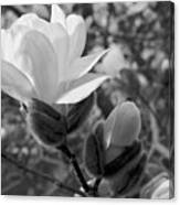 Magnolias In Spring Canvas Print