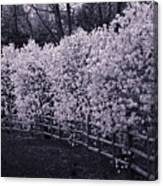 Magnolias In Llewellyn Park, West Orange, New Jersey Canvas Print