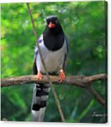 Magpie I Canvas Print