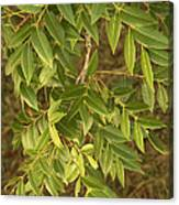 Mahogany Leaves On A Branch Canvas Print