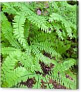 Maidenhair Ferns In Columbia River Gorge Closeup Canvas Print