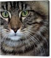 Maine Coon Cat Portrait Canvas Print