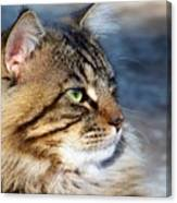 Maine Coon II Canvas Print