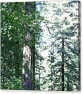 Majesic Redwoods Canvas Print