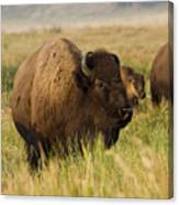 Majestic Bison Canvas Print