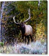 Majestic Bull Elk Survivor In Colorado  Canvas Print