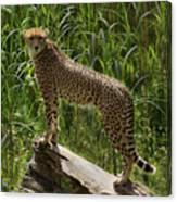 Majestic Cheetah Canvas Print